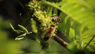 Zdjęcie przedstawie dwie pszczoły wśród zielonej roślinności